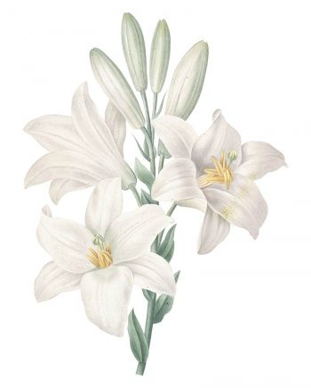 madonna-lily-white